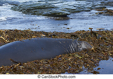 Southern Elephant Seal on a bed of kelp