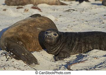Southern Elephant Seal pup (Mirounga leonina) on Sea Lion...
