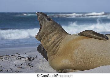Southern Elephant Seal (Mirounga leonina) on a sandy beach...