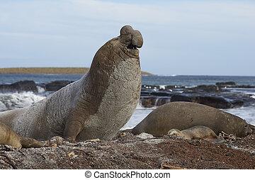 Southern Elephant Seal - Male Southern Elephant Seal...