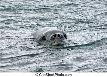 southern elephant seal swims