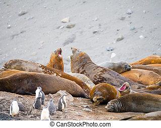 Roaring southern elephant seals and gentoo penguin chicks at Hannah Point, Livingston Island, South Shetland Islands, Antarctica