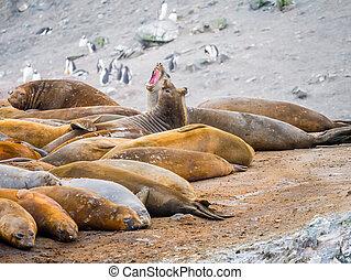 Roaring southern elephant seals, Mirounga leonina, at Hannah Point, Livingston Island, South Shetland Islands, Antarctica
