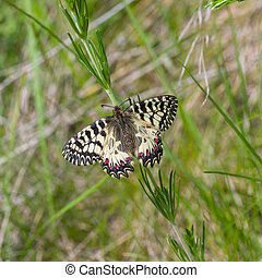Southern Festoon butterfly sitting in wild herb at summer season in Ukraine