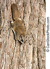 Southern Flying Squirrel - Southern flying squirrel clinging...