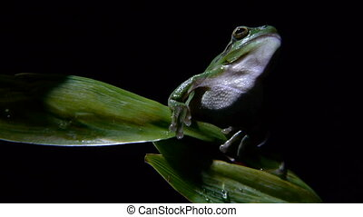 Southern frog, climb to the leaf at night