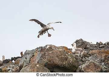 Southern Giant Petrel couple in love, Antarctica