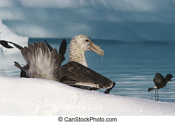 southern giant petrel eat carrion in Antarctic