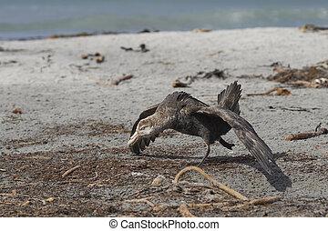 Southern Giant Petrel (Macronectes giganteus) on a beach on ...