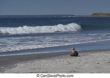 Southern Giant Petrel (Macronectes giganteus) on a sandy ...