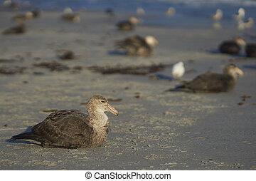 Southern Giant Petrel (Macronectes giganteus) sitting on a ...