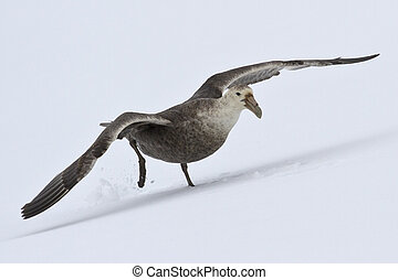 southern giant petrel that soars from the snow Antarctic Islands
