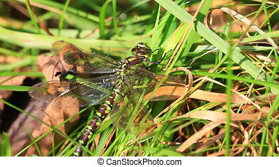 Southern Hawker - Aeshna cyanea in the grass - macro shot