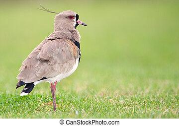 Southern Lapwing (Vanellus chilensis). - Southern Lapwing (...