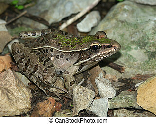 Southern Leopard Frog - Illinois - Southern Leopard Frog...