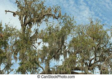 southern live oak, Louisiana