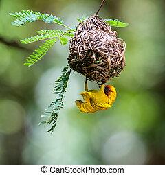 Southern masked weaver building nest