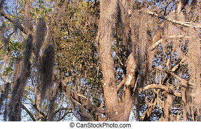 Southern Oak Tree Hosting Moss