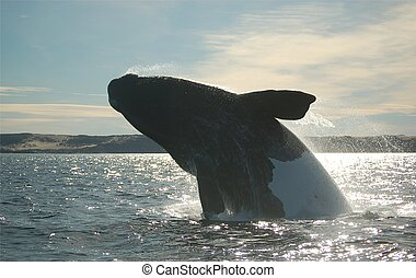 Black and white southern right whale jumping