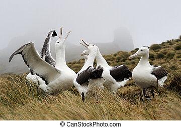 Southern Royal Albatross in courtship