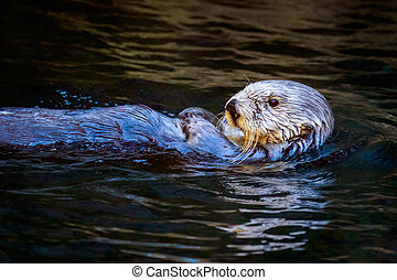 Southern Sea Otter - Close-up of a southern sea otter swims...