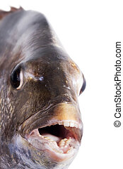 Southern sheeps head (Archosargus probatocephalus), Close-up of muzzle fish, focus on teeth. Isolated on white background