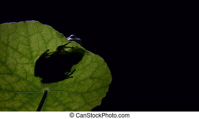 frog silhouette southern moonlit on leaf