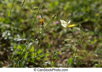 Southern Small White (pieris mannii) Butterfly in Sigishoura...