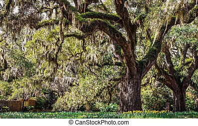 Southern Spring Day - Live oak tree draped in Spanish moss ...