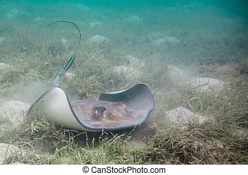 A gray Southern Stingray stirs up sand along the ocean floor