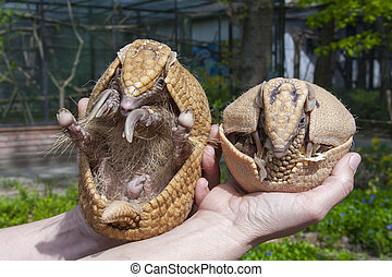 Southern three-banded armadillo (Tolypeutes matacus)