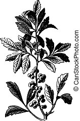 Southern Wax Myrtle or Southern Bayberry or Candleberry or Tallow or Myrica cerifera vintage engraving