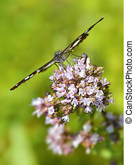 Southern White Admiral butterfly on flower