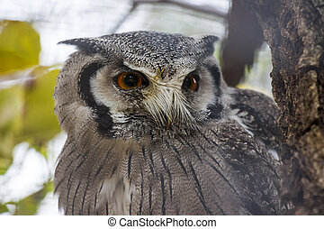 Southern White-faced Scops Owl Close Up Portrait