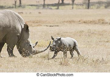Southern White Rhino and calf