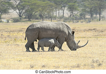 Southern White Rhino with calf