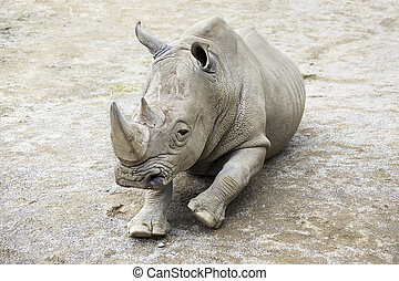 Southern White Rhinoceros. Oldest zoos in Europe. Republic...
