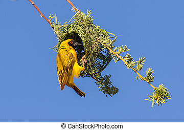 Southern Yellow Masked Weaver