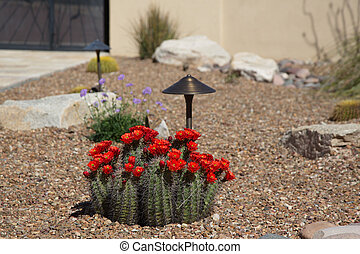 Southwest courtyard brightened by red blooms of hedgehog cactus