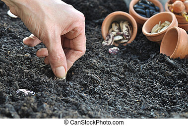 sowing beans - woman hand sowing seeds in vegetable garden...