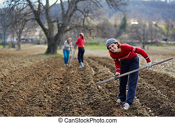 Sowing potatoes - People sowing potato tubers into the...