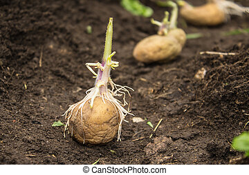 Sowing potatoes process - Potatoes sowing process, planting...