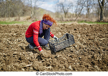 Sowing potatoes - Woman sowing potato tubers into the plowed...