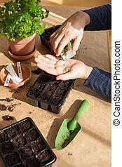 sowing, tuinieren, home., zaden, aanplant, germination, man...