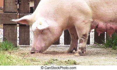 Sows, Swine, Female Pigs, Mothers
