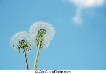 sowthistle  on the sky background