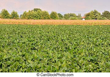 soy, akker, boon, plant