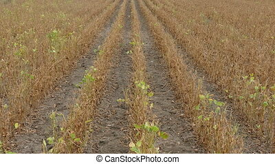 Soy bean plant in field ready for harvest after drought in...
