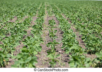 Soy field with small plants