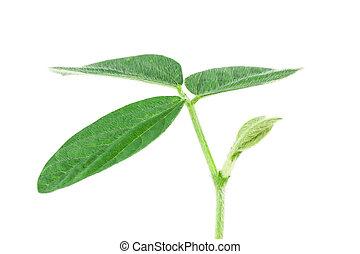 soy, plant